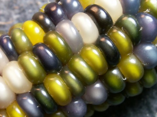Multicolored corn. How did this become possible?