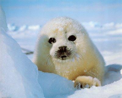 Non au massacre des phoques !