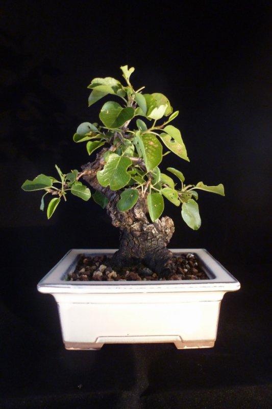 Prunus Sainte Lucie
