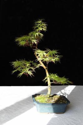 Acer Palmatum Seiryu Bonsai Au Fil Des Ans