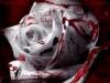 une rose en sang
