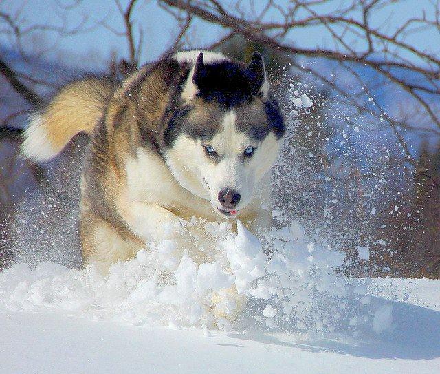 le husky siberien son mode de vie