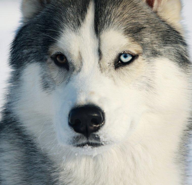 l'instinct du husky sibérien