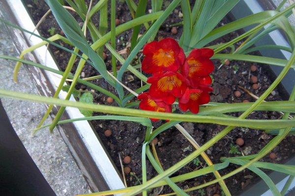 j'ignore le nom de cette fleur qui est venue dans mon bac avec les iris qui peut me dire ce que c'est merci