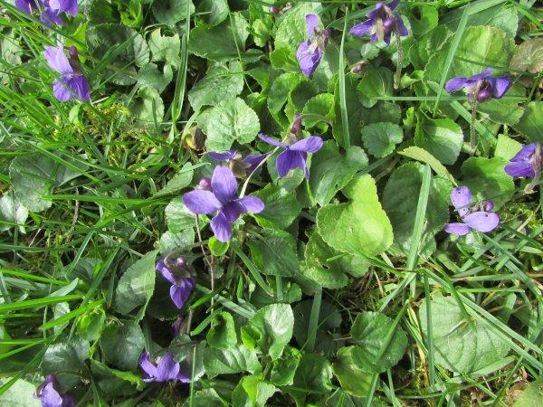 des tapis de violettes dans mon jardin semées par les oiseaux pour la première fois j'en ai autant