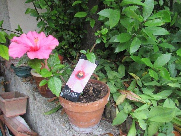 mon hibiscus que je pensais qu'il était mort vient de refleurir