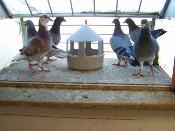 me revoilà avec mes pigeons