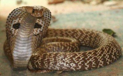 Le Cobra Royal Est Le Plus Long Serpent Venimeux Du Monde Il Mesure