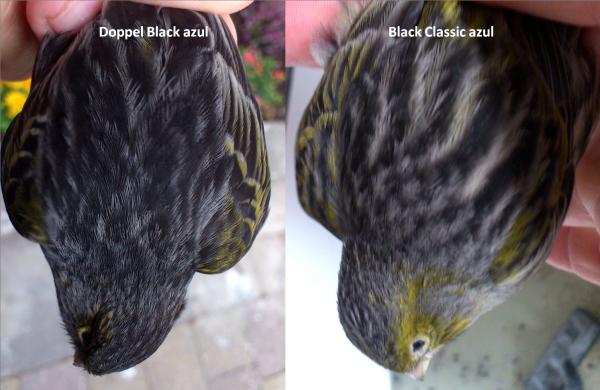 Black normal versus doppel black