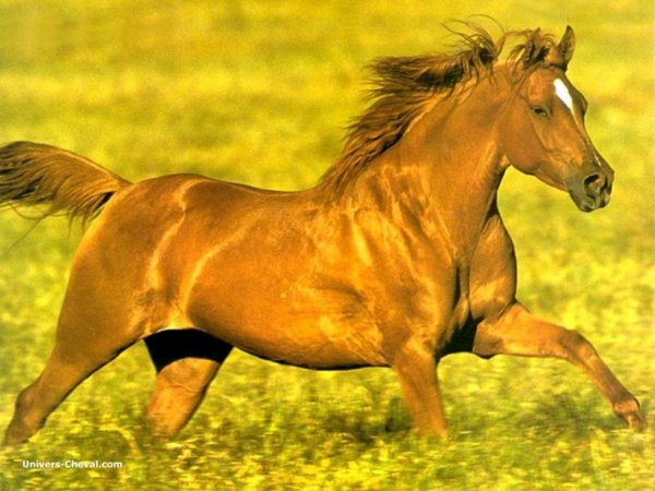 les chevaux libre