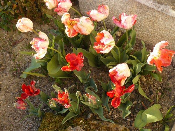 fleurs du jardin ,bizarerie!!!déjà  des figues sur mon figuier!!!!!!!!!!!!!!!!!!!
