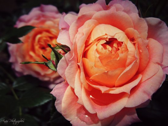 « La rose a l'épine comme amie. »
