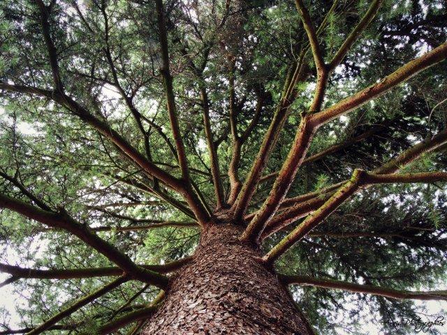 « Constatation : le sapin est un arbre horizontal ! »