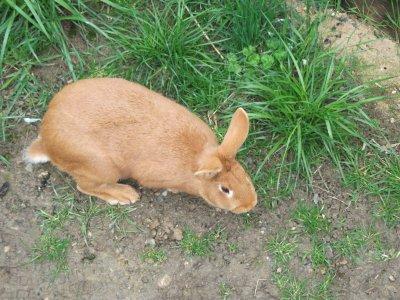 lapine fauve de bourgogne