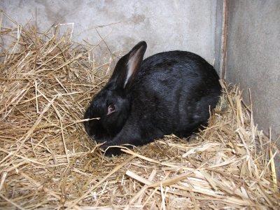 lapine noir