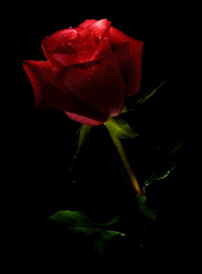 una bella rosa por vosotros