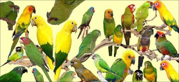 ma passion les oiseaux ! en particulier les perruches américaines !