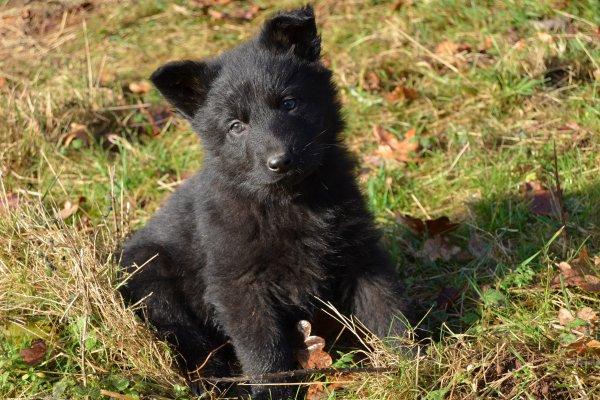Pako (berger allemand - noir)