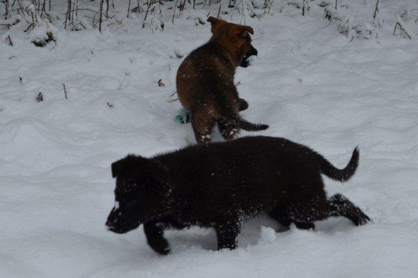 Deutsche Schäferhunde wolfsgrau (Langhaar & Kurzhaar)