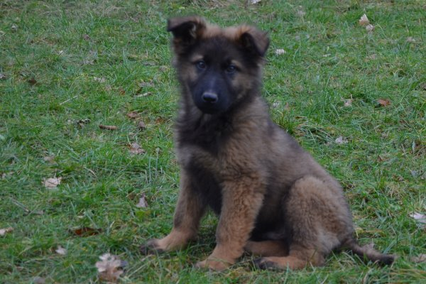 berger allemand gris-loup