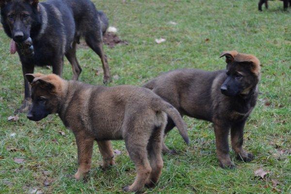 berger allemand gris-loup, Deutscher Schäferhund grau