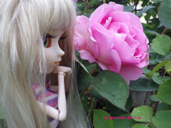Ma belle roses