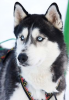 beau husky sibérein comme mon bébé Jack