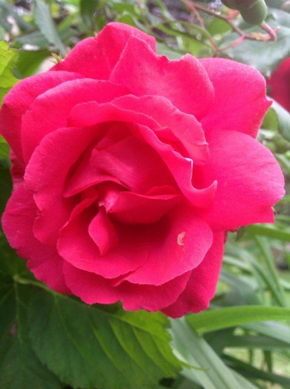Madame la Rose