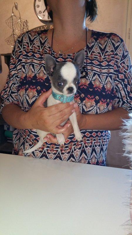 Chihuahua bleu et blanc miniature disponible