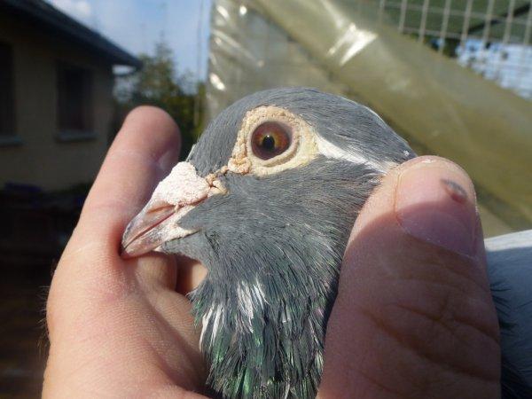 oeil d' un mâle d' origine LOUELLA PIGEON WORLD ( Grande Bretagne )