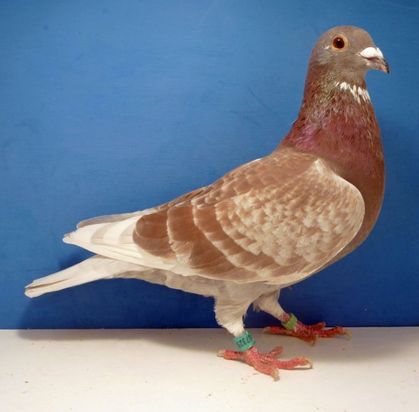 red cheq cock bought from TUMLEY Lofts Stud, ( James COOK and family) UK