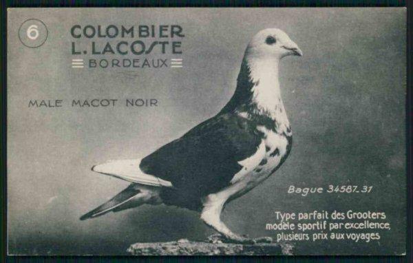 pigeon du !colombier LACOSTE de Bordeaux