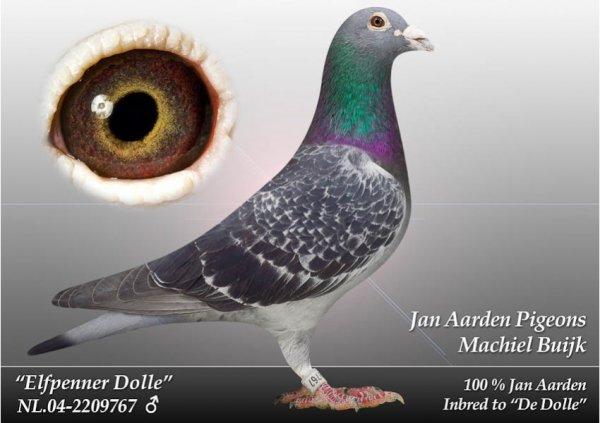 vente à CAUDRY  Cambraisis de pigeons de Machiel BUIJK