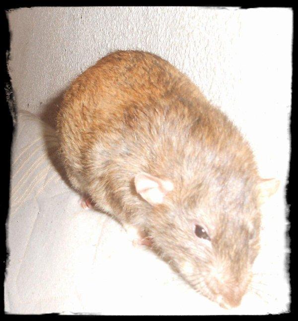 MIO, le rat capuccino