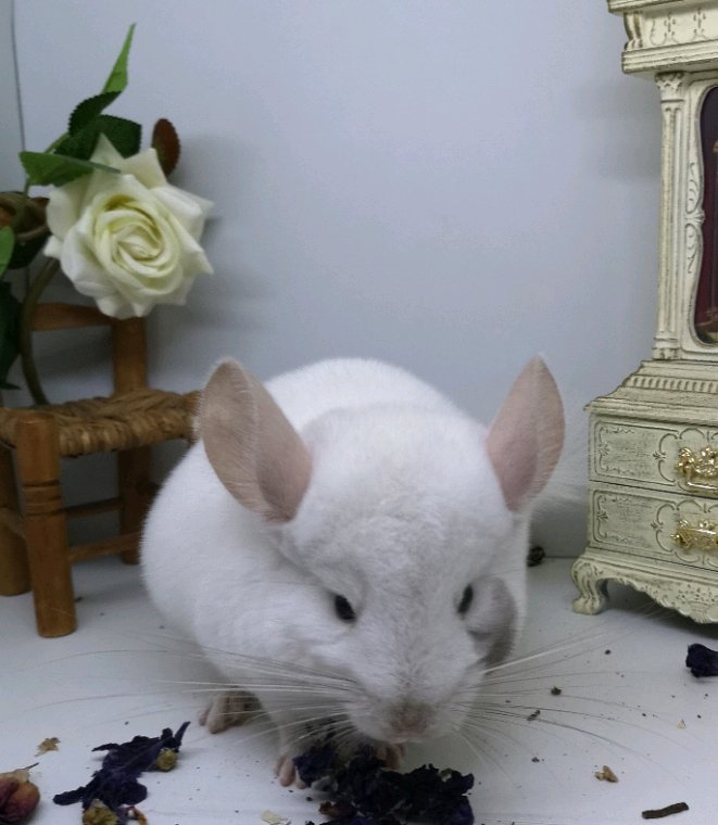 Male white tan bont porteur angora 140¤