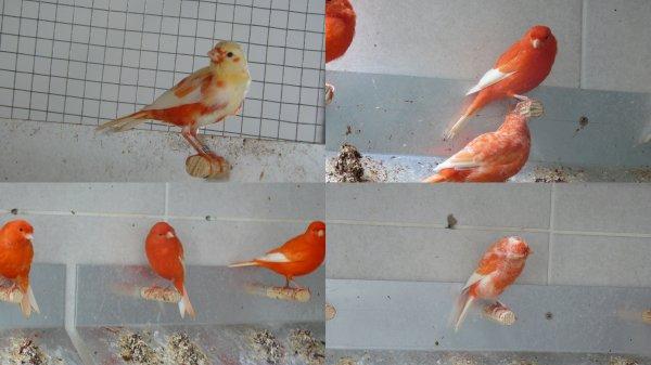 réponse sur les rouges ailes blanches