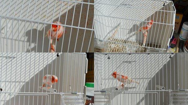 quelques oiseaux pour le concours de LENS RESULTATS DE MES OISEAUX