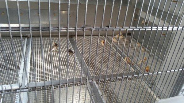Premiers jeunes mis en volière et d'autres en cages de vol
