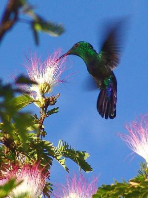 le colibris petit acrobate du ciel