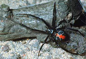 l 39 araign e dos rouge la red back elo autour du monde d. Black Bedroom Furniture Sets. Home Design Ideas