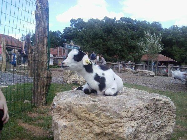photos des chevres d'un parc animalier