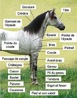 La Morphologie du cheval . (Partie 2)