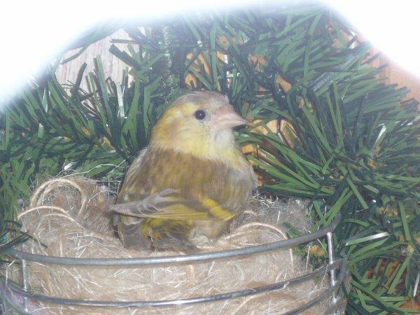 Femelle Tarin brun diluée dans le nid
