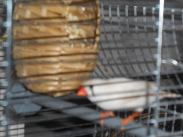 femelle mandarin