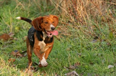 Rallye La Braconne - Beagle