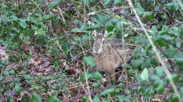 Lièvre qui vient tout près écoutant la chasse