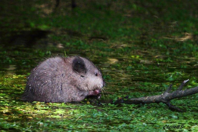 Bébé rat musqué
