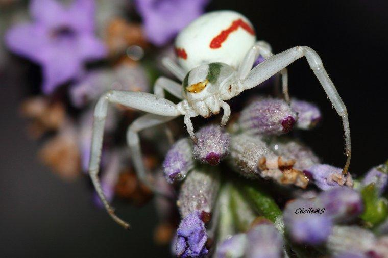 Araignée crabe sur fleurs de lavande