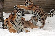 Les tigres : Doublons leur population dans le monde