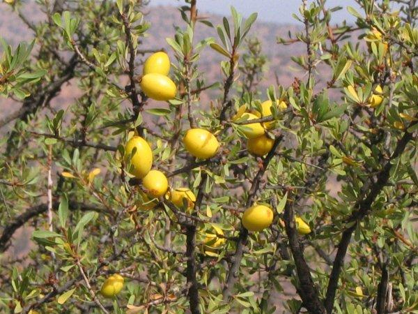 L'arganier et son fruit : arbre endémique du maroc à vertus cosmotique ,esthétique et médicinal (plaine du souss)